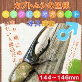 ヘラクレスオオカブト成虫 オス大型の144mm〜146mm