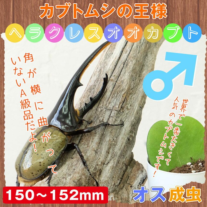 【カブトムシ】超大型!ヘラクレスオオカブト 成虫 オス 150mm~152mm:むしや本舗