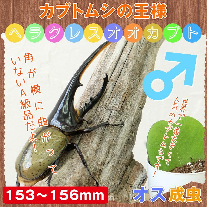 【カブトムシ】超大型!ヘラクレスオオカブト 成虫 オス 153mm~156mm:むしや本舗