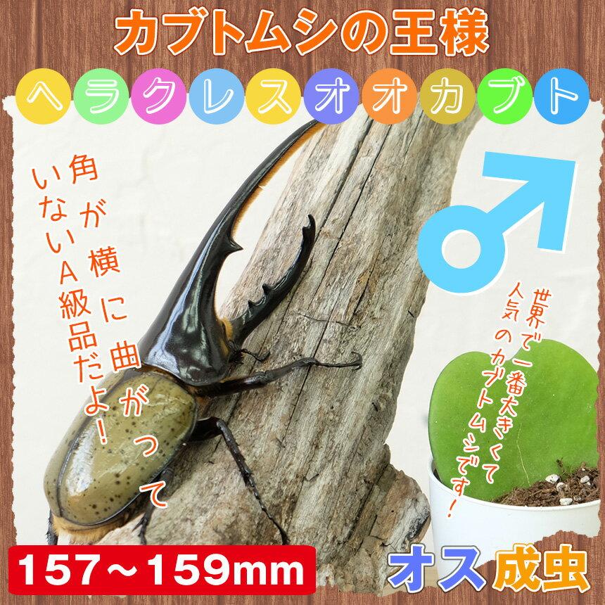【カブトムシ】超大型!ヘラクレスオオカブト 成虫 オス 157mm~159mm:むしや本舗