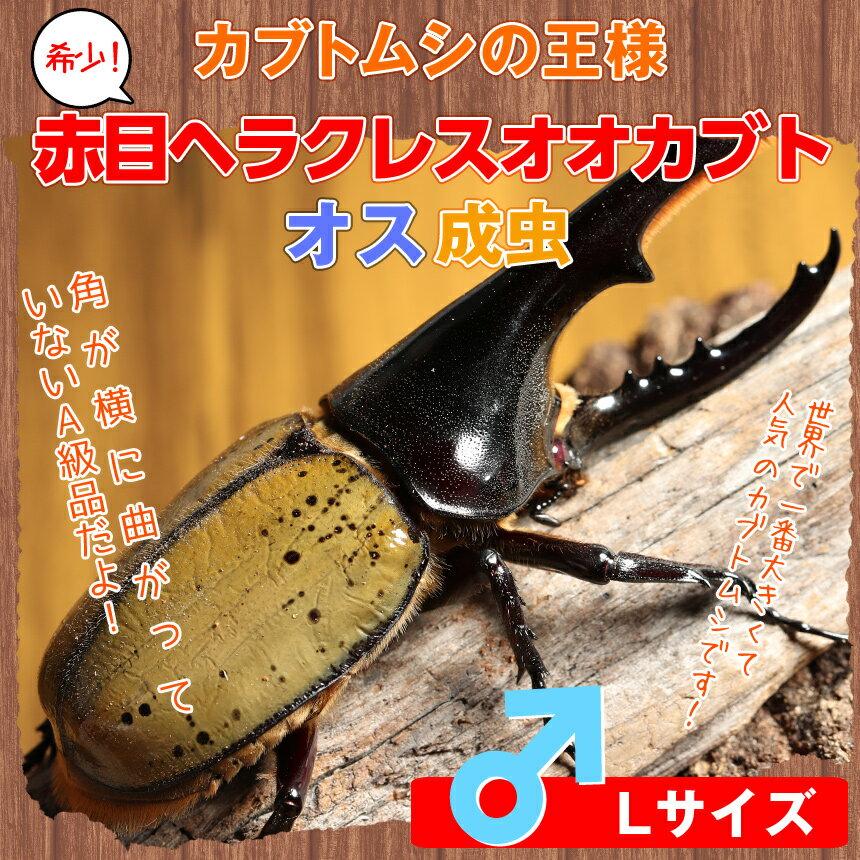 赤目ヘラクレス オオカブト成虫 オスのLサイズ[カブトムシ]☆