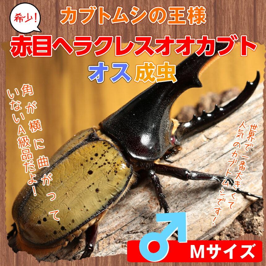 赤目ヘラクレス オオカブト成虫 オスのMサイズ[カブトムシ]☆