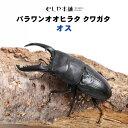 (昆虫)国産コクワガタ 成虫 サイズフリー(3ペア)