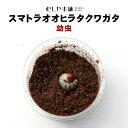 【パラワンオオヒラタクワガタ 幼虫】クワガタ ヒラタクワガタ幼虫