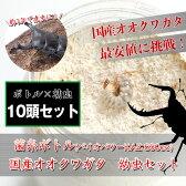国産オオクワガタ 1令〜2令幼虫10頭+菌糸ボトル10個のセット