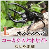 コーカサスオオカブトムシ成虫オスメスペア Lサイズ