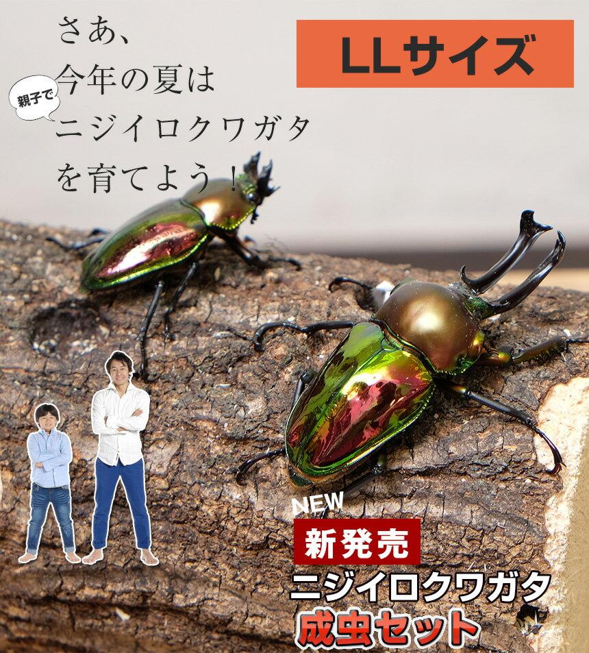 ニジイロクワガタ成虫【ペア】 LLサイズ