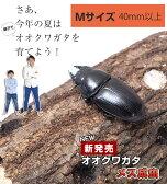 国産 オオクワガタ成虫【メス】Mサイズ 新成虫