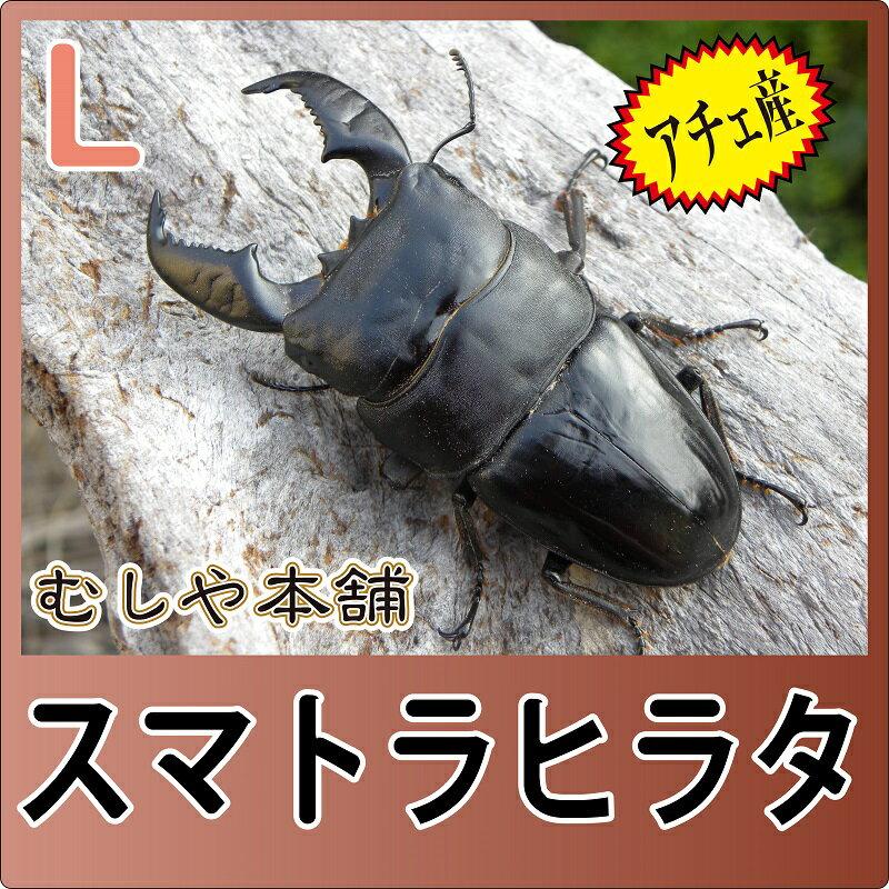 スマトラヒラタクワガタ ペア(アチェ産) Lサイズ【外国産クワガタ 成虫】