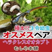 ヘラクレスオオカブト(ヘラクレスヘラクレス) 3令初期 幼虫 オスメスペア