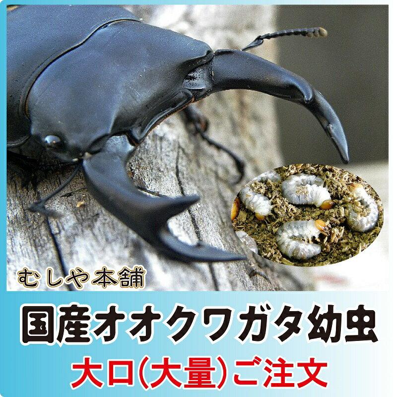 国産 オオクワガタ幼虫 1〜2令【100頭】【【大口・大量購入】:むしや本舗