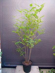 人気の鉢植えです!ベランダ、玄関周り、お店やオフィスにもどうぞ。送料込(本州四国)!◎シマ...