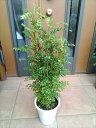 上級品◎シマトネリコ70・5〜7号鉢植え◎5本以上の株立ち!観葉植物◎人気常緑樹!