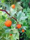≪本州四国≫送料込み!!◇木いちご◇≪木苺・150≫キイチゴ◇落葉樹