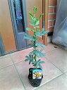 ◎ミモザアカシア◎ギンヨウアカシア・30◎ミモサ◎常緑樹◎お
