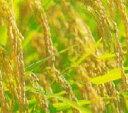 19年産青森つがるロマン玄米30kg(精米無料)★コシヒカリの孫にあたる品種