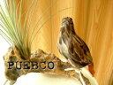 ★PUEBCO(プエブコ) Eagle(S)イーグル L230 /リアル鳥のオブジェ剥製ではありません!ワシ鷲雑貨通販【RCP】