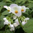 【山野草】白花シュウカイドウ