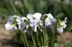 【山野草】白花コモロスミレ