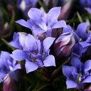 八重咲ササリンドウ