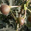 【果樹苗】イチジク「アイスクリスタル」12cmp