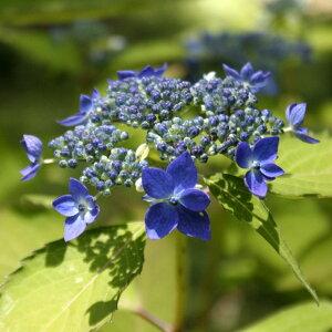 ヤマアジサイ「藍姫」