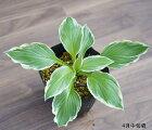 ホスタ(ギボウシ)「アルボマルギナータ」15cmポット植え※仮植え苗