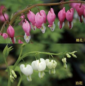 【山野草】タイツリソウ桃・白2色セット