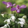 【山野草】サワラン紫・白2色セット