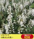 【山野草】シモバシラ 10株まとめ買い
