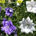 【山野草】八重咲キキョウ 白・紫 各2ポットセット