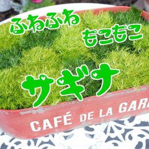 【人気植物】ふわふわ♪もこもこ★「サギナ」(さぎな)3号ポット2色セット!