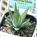 【人気の多肉植物】白い縞模様が美しいハオルチア♪十二の巻 3号(ハウォルチア)