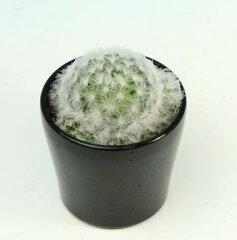 ふわふわが人気のサボテンサボテン 「マミラリア・プルモサ」3号鉢(白星 シラボシ)