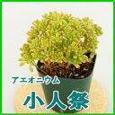 【人気の多肉植物】アエオニウム♪小人の祭♪コビトノマツリ こびとのまつり 小人祭 3号 多...
