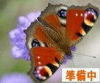 ミヤマラッキョウ(深山辣韮)7.5cmポット【山野草】