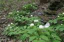 ヤマシャクヤク(山芍薬)種まき5年 10.5〜13.5cmポ...