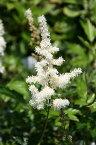 シロバナホサキショウマ(白花穂咲升麻)9〜10.5cmポット