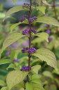コムラサキ(小紫)7.5〜9cmポット