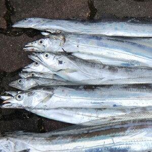 愛媛 ( タチウオ ) 天然一本釣り 500-700g 3-4匹 原体2kg分 浜から直送 送料無料 宇和海の幸問屋