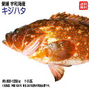 愛媛 ( キジハタ ) 約800-1200g(1-3匹) 刺身 煮魚 焼魚 干物 送料無料 宇和海の幸問屋