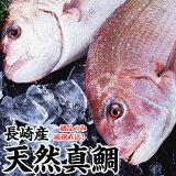ギフト 長崎産天然真鯛(釣りもの一級品・活もの)1.2kg前後 1尾 (2〜3人前)熨斗 ギフト プレゼント お祝い マダイ お食い始め