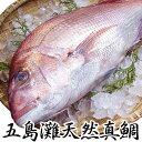【!送料無料!】活〆!鮮度抜群!贈答品にも!五島灘極上天然真鯛!天然真鯛 2.5kg前後1尾(4...