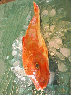 縁起物のお魚です!!淡白なのにコクのある旨みと脂がのって締まりのある身が両立!ホウボウ(ほ...