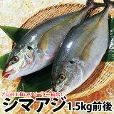 ギフト リピ続出長崎産シマアジ(縞鯵)1〜2尾 計1.5kg前後活もの/お刺身用しまあじ