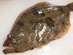 【お刺身におすすめ!白身の高級魚】短冊まで下処理いたします淡路島産天然ヒラメ1kg〜1.2kg1枚...