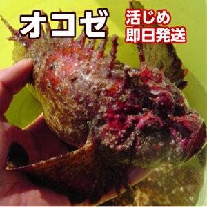 薄づくり・お味噌汁にオススメ!磯の高級魚!淡路産オコゼ(活〆)1匹250g前後→活〆当日発送(おこぜ)