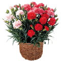 カーネーション鉢花3色寄せ植え鉢カバー付き