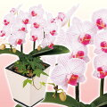 胡蝶蘭ピンクフレア観葉アレンジ2本立