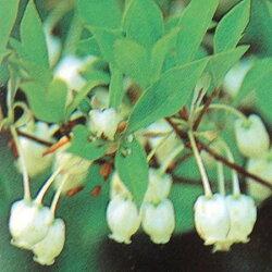 ドウダンツツジ白花